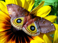 Moth and Sunflower