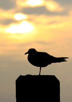 Sunset Gull 2